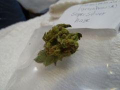 Greenhouse   Super Silver Haze