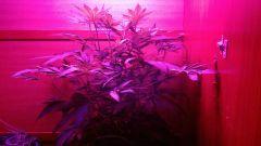 Nova Planta Mãe Casey Widow 10ª semana