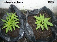 testando cultivo permanente em sacos