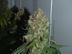 White Lavender 111 dias 73 dias De 12hrs 66 dias De flora 2