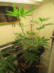 Magic   vegetativo