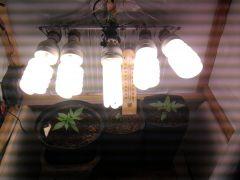 plantas 17 dias  5 lampadas de 45 watts