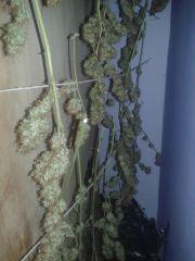 colheita de 1 planta skunk