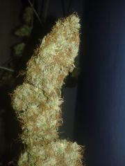 top bud skunk