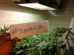 #planteoCBD