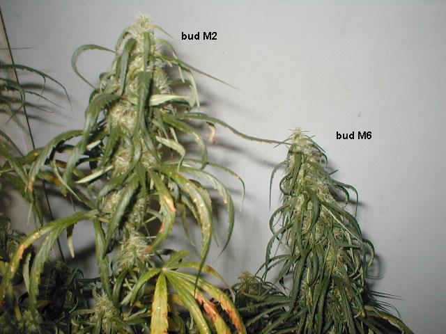buds M2 e M6
