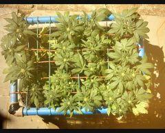 2 semanas de flora