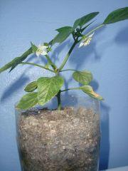 122 peppa flowering