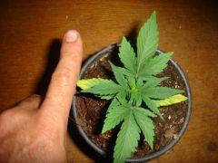 dia 18 planta nova indoor 1