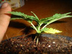dia 18 planta nova indoor 2