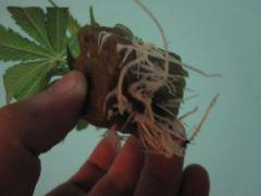 3 Cultivo