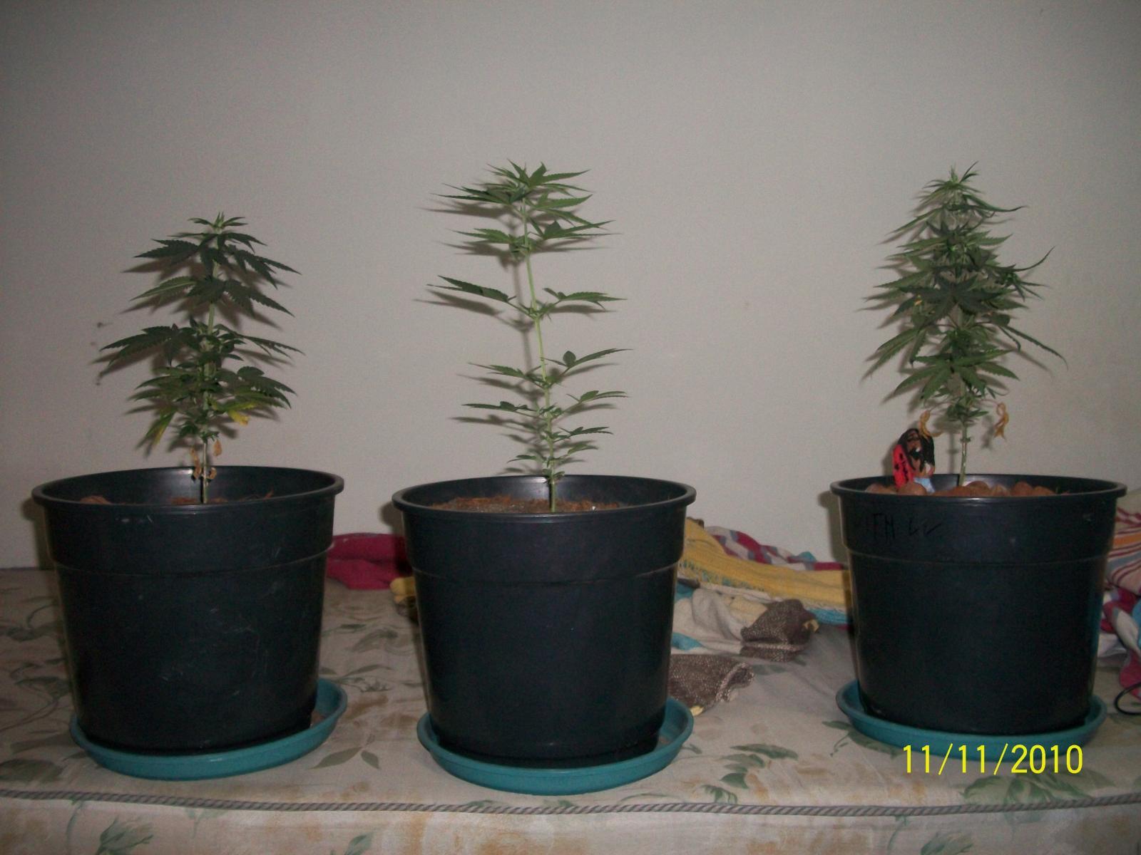 Primeiro cultivo