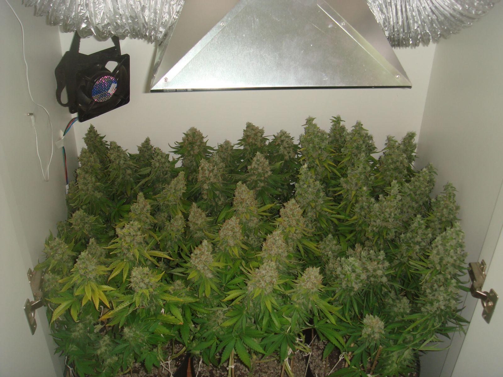 Maconha cannabis cultivo indoor legaliza for Macon tattoo shops