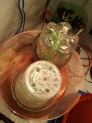 Clones planta 1 e 5