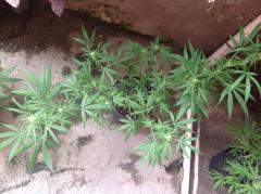 Clone com pequenas flores