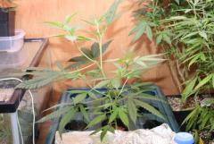 Plantadodefulo