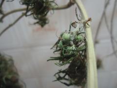 sementes 1.JPG