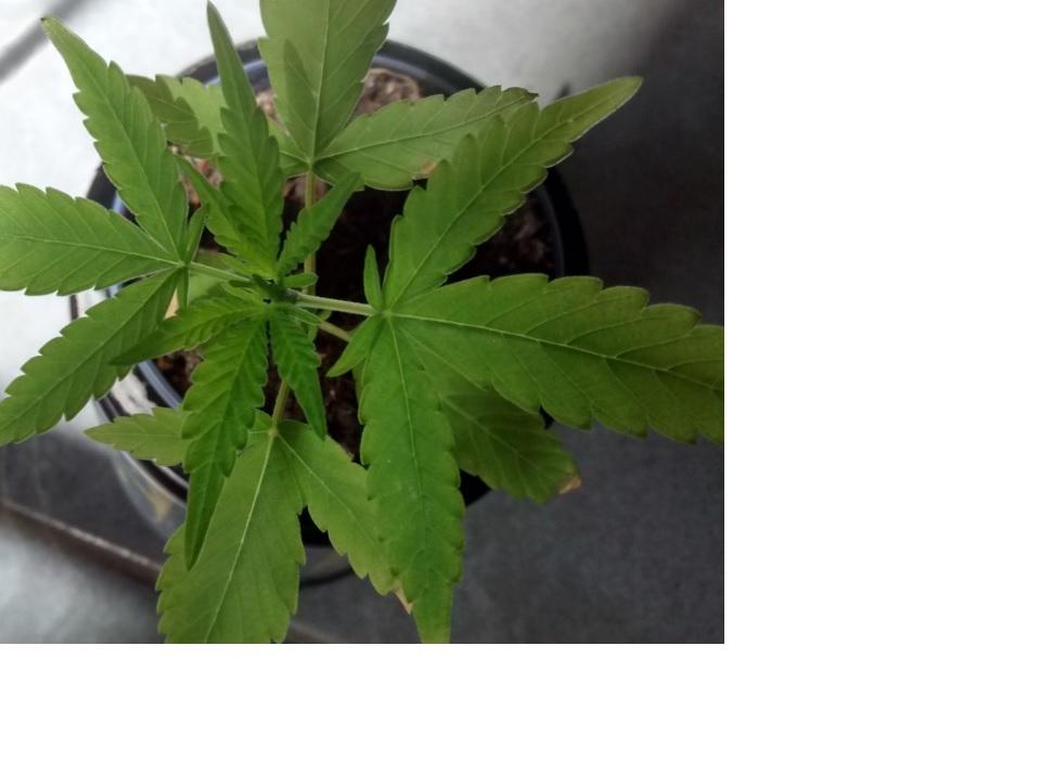 cannabis 3.jpg