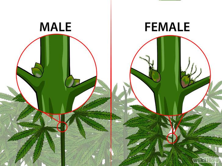 728px-Identify-Female-and-Male-Marijuana-Plants-Step-3-Version-3.jpg