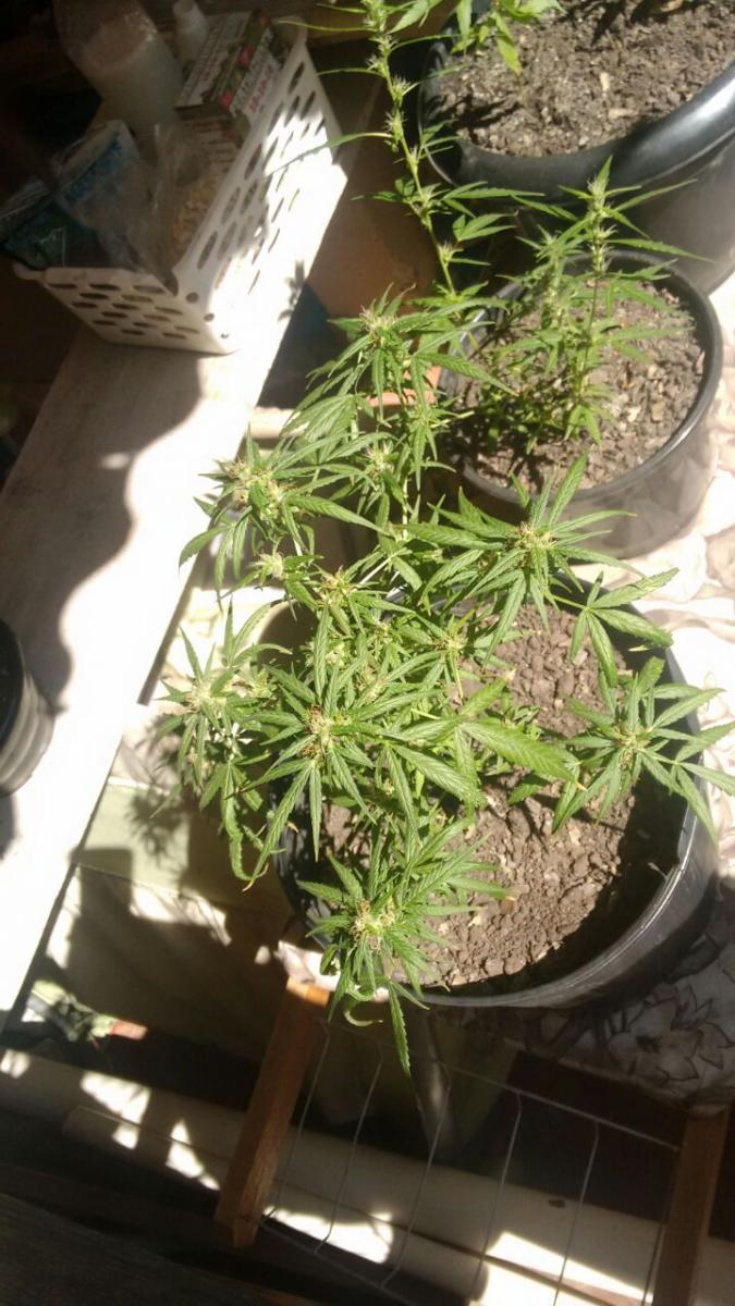 meu primeiro cultivo outdoor