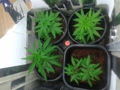 40 dias de vegetativo