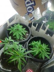 35 dias vegetativo