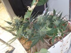 OG Kush - Royal Kush - 3 semana de Flora