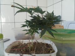 OG KuSh Royal Queens - 5° semana de Flora