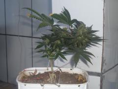 OG kush 6 semana de flora