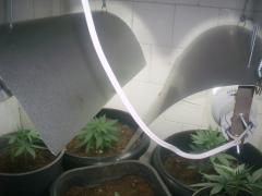sala de vegetação. Plantas com 1 mês.