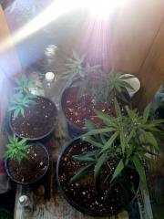 Cultivo orgânico indoor [eco]nômico ft.3