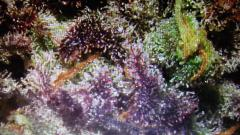 ayahuasca purple 2 13-06-2018 colheita (2).jpg
