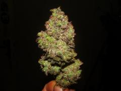 ayahuasca purple 2 13-06-2018 colheita (12).JPG