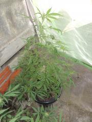 Primeiro plantio