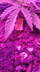 14 dias manche no 1 par de folhas.jpg