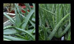 Aloe vera x Aloe arborescens.jpg