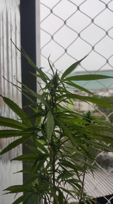 Cannabis1-1.jpg