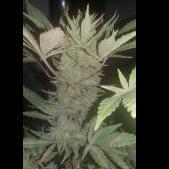 Cannabis Feliz