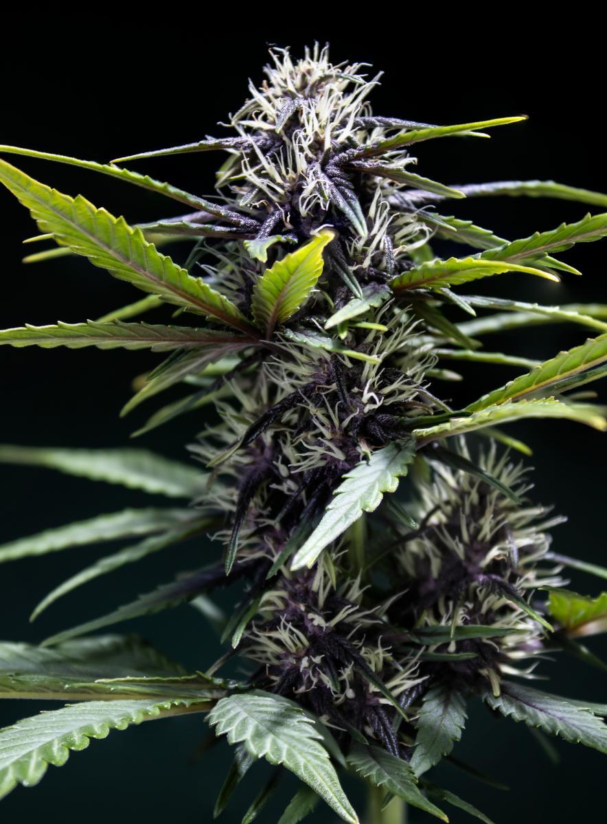 Purple Buddah Kush