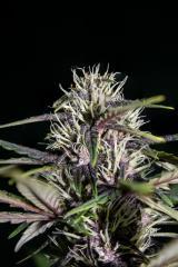 Purple-Buddah-Kush-28.jpg