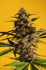 Purple-Buddah-Kush-29.jpg