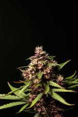 Purple-Buddah-Kush-30.jpg