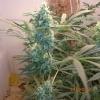 tshcannabis