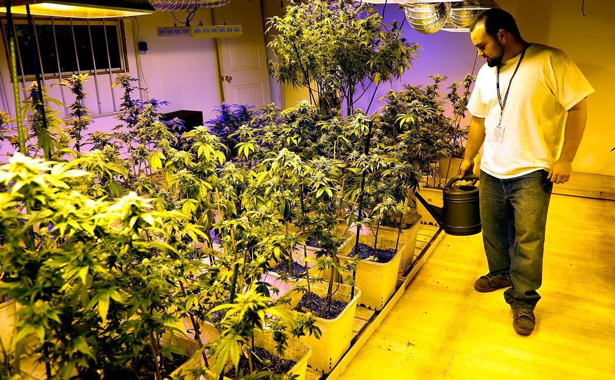 Cultivo de Maconha no Colorado