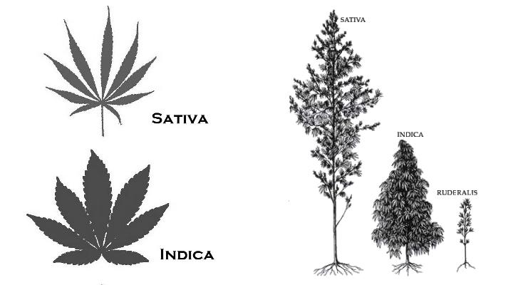 Cannabis Indica vs Cannabis Indica
