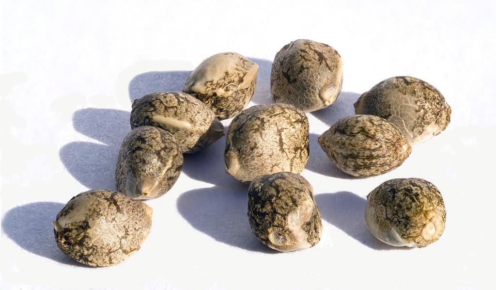 Importação de sementes é visto como tráfico
