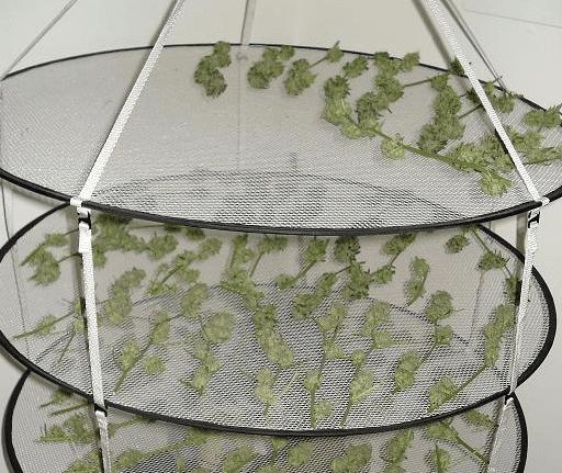 Secagem da colheita de maconha