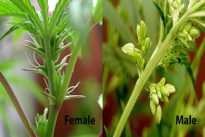 Como identificar plantas fêmeas e machos de Maconha - Growroom