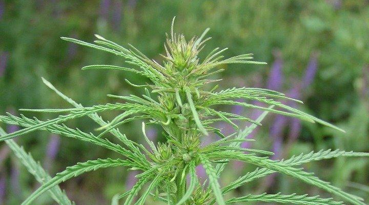 Cannabis Ruderalis que dá origem às sementes automáticas de maconha