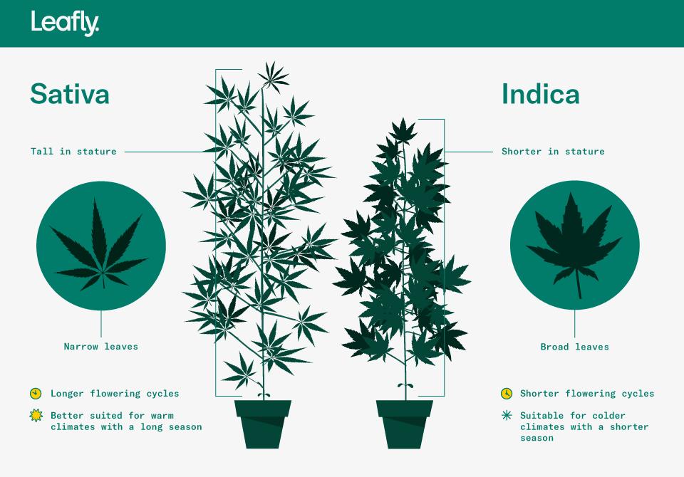Características da Cannabis Indica